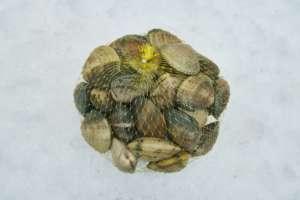 almeja-fina